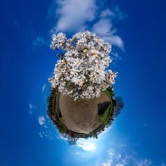 Frühling kommt (HamburgerJung) Tags: hamburg altona deutschland germany altonavolkspark volkspark blüten blumen blümchen frühling pentaxk3 da1017 hugin nodalninja5 planet littleplanet stereographic