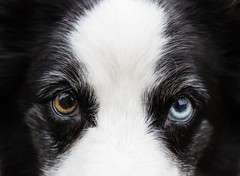 Karma (Crawford Canines) Tags: bordercollies portrait play outdoors dogs canines outside spring playing ball fetch happy