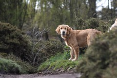 Come on slow coach (Sharron Burns) Tags: trees animal dog guidedogs guidedogpuppy puppy goldenretriever goldenretrieverpuppy wirral roydenpark