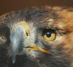 Golden Eagle, Cambridge, Ontario, Canada. (mikemccumber) Tags: birds birdsofprey birding bird eagles baldeagle eagle wildlife wildlifephotography animals nature goldeneagle goldeneagles