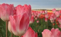 Tulips (Leo Bissett) Tags: flowers floral colour purple rush dublin