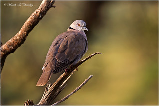 The Morning Dove!