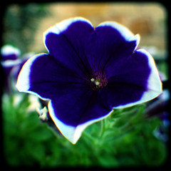 Purple and White Petunia (rustman) Tags: ttv throughtheviewfinder square saturated pentax istd kodak duaflex2 flower garden nature purple white texaslife