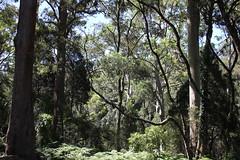 Ellenborough falls (cathm2) Tags: australia nsw ellenborough falls nature travel trees