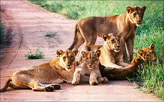 Family portrait (Katarina 2353) Tags: kruger southafrica africa lion