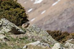 Marmotte / Groundhog (Nicolas Rouffiac) Tags: marmot marmots marmotte marmottes animal animals animaux nature mignon cute