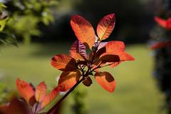 Sunlight through the Cotinus (powellspin) Tags: sunlight smokebush shrub april spring cotinus