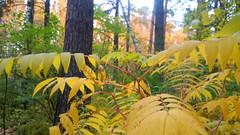 Fern (Hermaeus) Tags: saniainen fern syksy autumn forest metsä