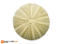 Sea urchin skeleton (Victor van Dijk (Thanks for 4M views!)) Tags: sea urchin seaurchin skeleton macor 100mm 100l canon elinchrom westcott apollo orb skyport rander quadra hybrid macro fav fave faved favorite