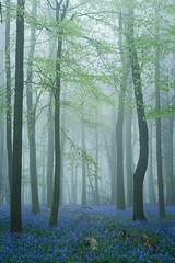 Crawley Wood I (Stu Meech) Tags: crawley wood ashridge estate mist fog bluebells spring nikon d750 70200 stu meech