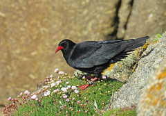 Chuffed! (Julian Hodgson) Tags: chough redbilledchough pyrrhocoraxpyrrhocorax paloresowkernewek carnlesboel pendowercoves porthgwarra stlevan cornwall bird cliffs granite coast sea