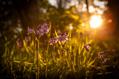 Before she sets (Sandy Sharples) Tags: bluebells wildflower woods woodland sunset goldenhour nature flora lensflare bokeh