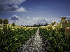 P4230009 (Finalfoto.nl) Tags: tulpen bollen tulps kleuren tulp tulips rood geel groen bloemen bloem