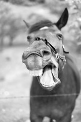Laugh out loud (michalreszka) Tags: horse nature smile animal tongue bokeh teeth