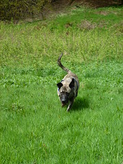 (The Chairman 8) Tags: dog grass canine running valley brindle hooch shibdenvalley alsationcross