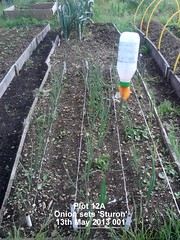Plot 12A - Onion sets 'Sturon' 13-05-2013 001 (Davy1000) Tags: frame sunflower carrots seedlings runnerbeans daffodils parsnips leeks crocuses broadbeans pintobeans littlegem beetrootchioggia potatoesrocket