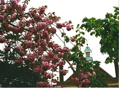 (Kkeina) Tags: uk pink flowers red film 35mm 50mm spring blossoms olympus oxford om om1