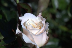 White Rose (G 55) Tags: white flower rose dew
