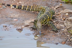 Big thirsty lizard (volanthevist) Tags: africa travel wild nature animal animals tanzania wildlife adventure safari serengeti