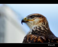 Falco (sirVictor59) Tags: italy nikon italia viterbo lazio falco sirvictor59 mygearandme mygearandmepremium mygearandmebronze mygearandmesilver flickrstruereflection1