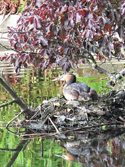 Sitting (lady.bracknell) Tags: bird nature birds liverpool nest waterfowl seftonpark grebe greatcrestedgrebe