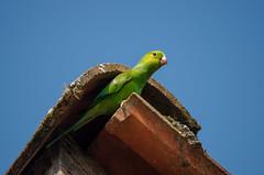 Periquito-rico (Plain Parakeet) (Jonatan Vitor Lemos) Tags: brazil verde bird rico parakeet plain periquito psittacidae psittaciformes brotogeris tirica psitacideos