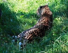 (Chloe Lillash) Tags: light summer sun beautiful grass animal cat canon fur zoo coat spots cheetah spota