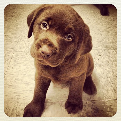 "#puppy #dog #lab #brown #chocolate #chocolatelab • <a style=""font-size:0.8em;"" href=""http://www.flickr.com/photos/20810644@N05/9258712496/"" target=""_blank"">View on Flickr</a>"