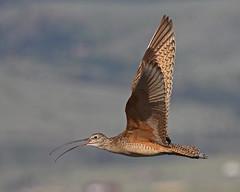 Long-billed Curlew (Keith Carlson) Tags: bif longbilledcurlew shorebirds numeniusamericanus