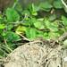Prairie Lizard (Male)