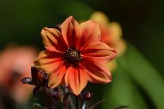 LongwoodGardens_07_21_2013_DSC_0621 (Jeff Adukinas Photography) Tags: flower gardens longwood