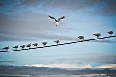 Seagulls in a Line (kris.mccracken) Tags: tasmania krismccracken