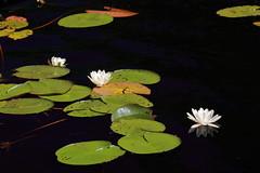 Water lilies (schoeband) Tags: lake waterlily sweden schweden sverige rebroln tivedennp stgddsjn