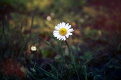 Gnseblmchen (Hoffnungsschimmer) Tags: white flower nature minolta daisy 5d konica dynax gnseblmchen yaren