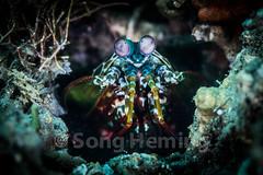 Mantis shrimp (NiCK) Tags: sea white fish macro eye water yellow coral danger mantis dangerous focus open hole under dive shrimp scuba diving spot diver