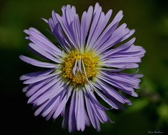 Wild Aster (Diane Marshman) Tags: wild summer plant flower macro nature up yellow petals close purple blossom pennsylvania lavender center petal pa bloomer bloom late tall wildflower aster perennial