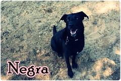 Iva and friends (BlytheGirl123) Tags: dog water animal swim golden mix labrador play retriver schferhund
