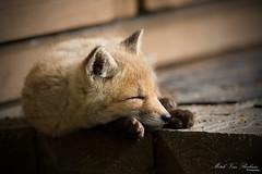 Sleeping Beauty (Red Fox Pup) (Mitch Vanbeekum Photography) Tags: baby nature newjersey wildlife young nj kit pup redfox nwr vulpesvulpes greatswamp baskingridge canon5dmkiii canonef500mmf4is canon14teleconvertermkiii