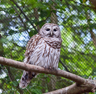 Barred Owl (Strix varia) at Woodland Park Zoo (4)