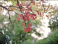 Foliage (scarletd) Tags: autumn light red fall film leaves sunrise mediumformat maple bokeh foliage 6x45 autunno acero contax645 fujipro400h carlzeissplanart80mmf20