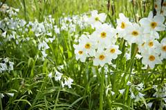 Daffodils (Elena Yanchyn) Tags: flowers nature spring flora