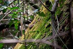 3853 (fpizarro) Tags: minasgerais verde green moss mg lichen cerrado belohorizonte 1994 jardins guaxinim bh funcho tucanos gavies cea quati bole hortel babosa caneladeema jacars pbh sabis parquedasguas pequi camomila alfavaca caxinguel mataciliar boldo canelas alcanfor plantasmedicinais fpizarro picapaus prefeituradebelohorizonte jatobs centrodeeducaoambiental sanhaos gambs micosestrela confrei parquerobertoburlemarx garrinchinhas barbatimo capimcidreira vegetaodecerrado paupereira saracuras fundaodeparquesmunicipais barreirodecima inauguradoem1994 vegetaotpicadecerrado copabas ings transiocerradoemataatlntica curruras lqun