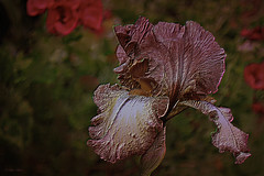 Dark Engraving: Bearded Iris (Creative_Pixels (On/Off Busy)) Tags: pink flowers iris plants brown painterly flower color colour art nature yellow digital dark gold petals spring artistic creative australian australia hues german engraving copper flowering ornamental horticulture bearded perennial germanica hybrids cultivars inflorescences i