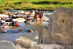 Wildlife combo (Arno Meintjes Wildlife) Tags: wallpaper art wildlife safari leopard combo dlife arnomeintjes