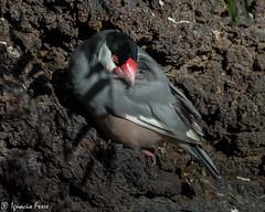 Sleepy finch (Ignacio Ferre) Tags: sleeping bird sparrow ave pjaro javafinch durmiendo gorrin javasparrow javaricebird javaricesparrow gorrindejava louchuraoryzivora capuchinoarrocerodejava