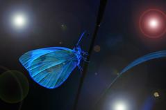 Das Universum... (~Simmy~) Tags: digiart insekt schmetterling pieris weiblich pieridae pierinae pierisbrassicae spielereien specanimal tagfalter weissling grosserkohlweissling hinterflügel apikalfleck diskalfleck simonenoll