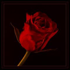 Red Rose of Lancashire. (Yvette-) Tags: redrose lowkey litbycandlelight macromondays nikkorf28105mm nikond5100