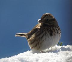 Song Sparrow (Trish Overton) Tags: snow bird birds ev songsparrow evansvillein