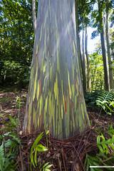 rainbow eucalyptus ([nosamk] KMason photography) Tags: trees summer forest hawaii maui bark trunk rainboweucalyptus eucalyptusdeglupta