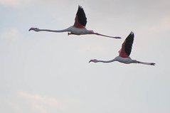 DSC_7623.jpg (Ferraris Clemente) Tags: sardegna wild birds sardinia uccelli pinkflamingo olbia stagno fenicotterirosa